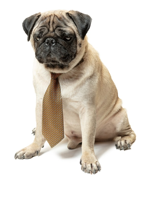 Ein Mops mit Qualzuchtmerkmalen und Krawatte schaut traurig an der Kamera vorbei