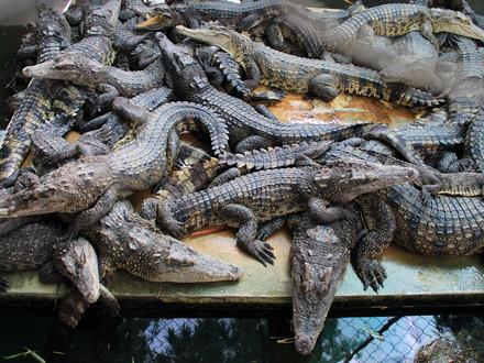 Krokodile auf einer Zuchtfarm - ©k - stock.adobe.com