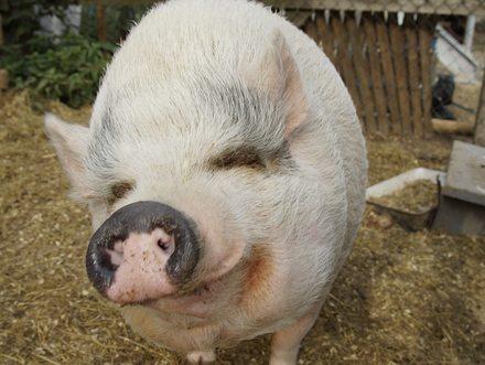 """""""Schwein gehabt – hier stimmt die Tierhaltung"""" - © Martina Koppensteiner"""