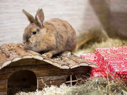 Kaninchendame Tina freut sich im TierQuarTier Wien über ihr Weihnachtspaket. © TierQuarTier Wien