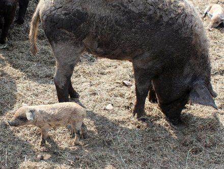 Ausständige Verbesserungen für Schweine nicht umgesetzt!