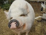 """BRD – Tierleid ist rechtfertigender Notstand  - Bild: """"Schwein gehabt – hier stimmt die Tierhaltung"""" - © Martina Koppensteiner"""