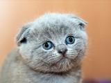 Scottish Fold-Katzen sind Qualzucht - Bild: Bildquelle: pexels.com
